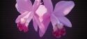 Látogasson el Ön is a jövő hétvégi Orchidea és Bromélia kiállításra
