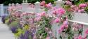 Rózsák és levendulák hétvégéje az Oázis Kertészetekben
