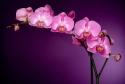 Az Orchideák éjszakáját ünneplik az Oázis Kertészetekben